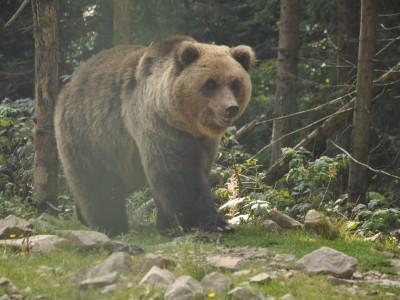 На Верховинщині ведмідь тероризує горян – нападає на худобу. ВІДЕО