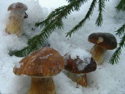 Сніг – не перешкода: Вірастюк поділився фотографією грибів під снігом у Гуцульських Карпатах